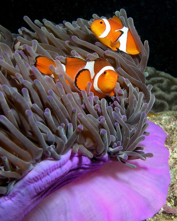 Anemone_purple_anemonefish by Nick Hobgood 2005-05-28