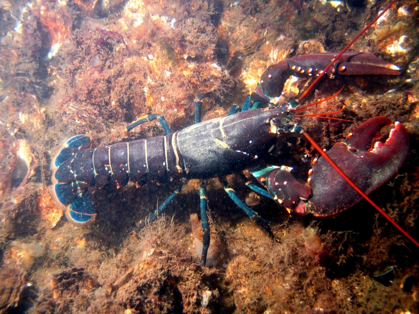 European Lobster by Bart Braun, Wikimedia Commons 2017-10-22.jpg