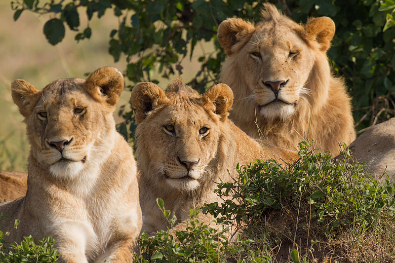 Lions_Family_Portrait_Masai_Mara by Benh LIEU SONG